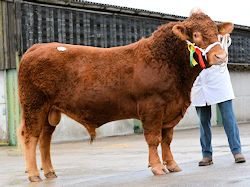 Waddeton Persius - Pedigree South Devon Bull